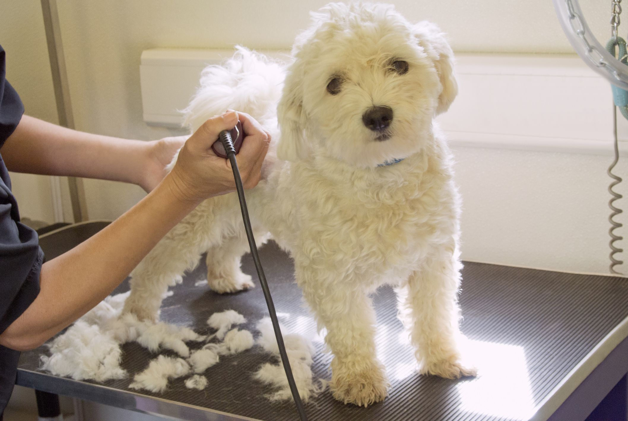 Dog grooming with a professional clipper