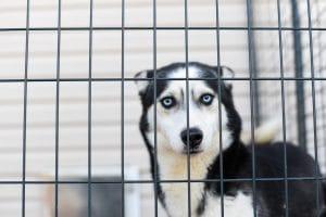 husky dog in the pen
